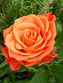 Rose flower in orange color