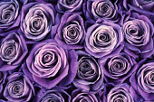 Bunch of violet colored rose flowers close-up as background. Filtered image.