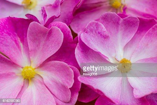 Rose Flowers : Stock Photo