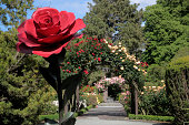 'Rose garden in the Botanic Gardens, Canterbury, South Island,  New Zealand'