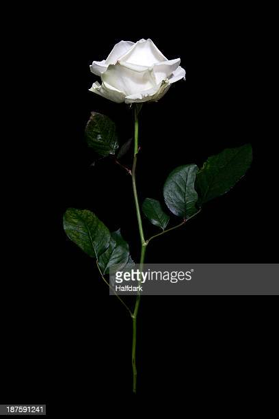 A rose in mid-air against a black background