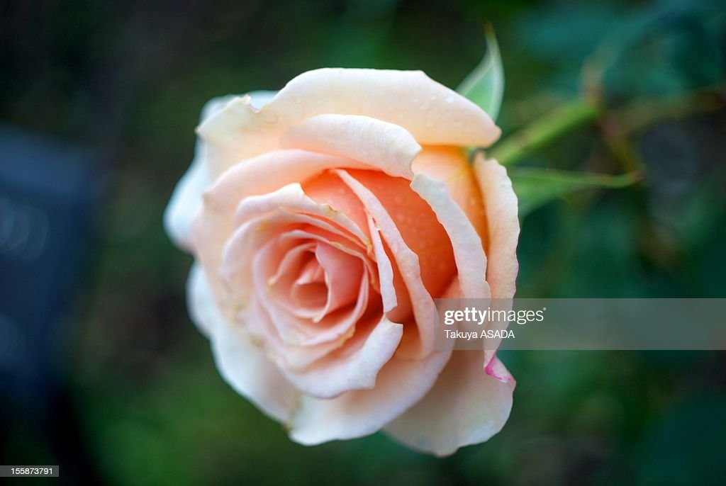Rose in winter garden : Stock Photo