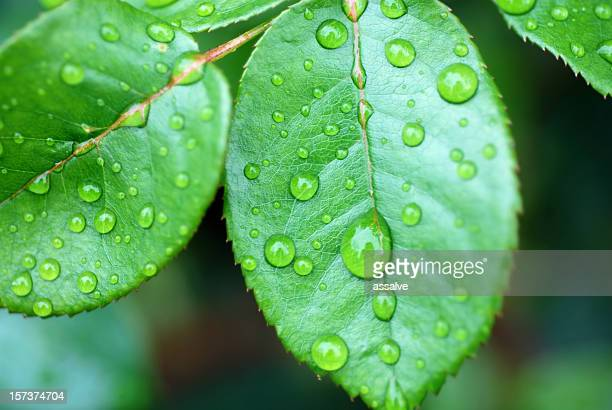 rose leaf with waterdrops