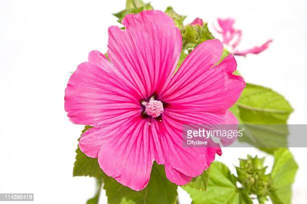 Rose Malve Blumen