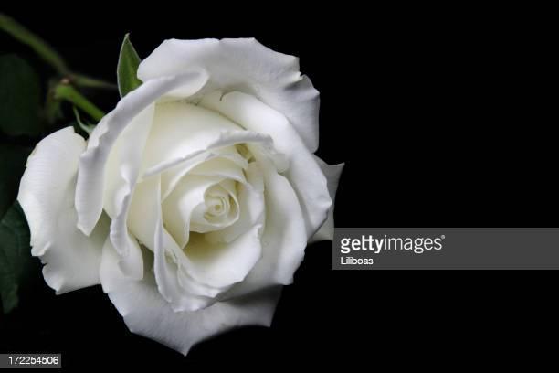 Rose sur noir (Avec copyspace