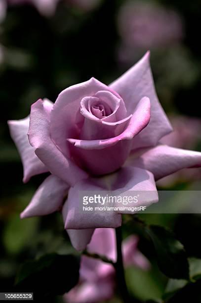 Rose (Madam Violet), Osaka, Japan
