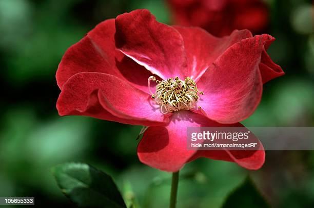 Rose (Dusky Maiden), Osaka, Japan