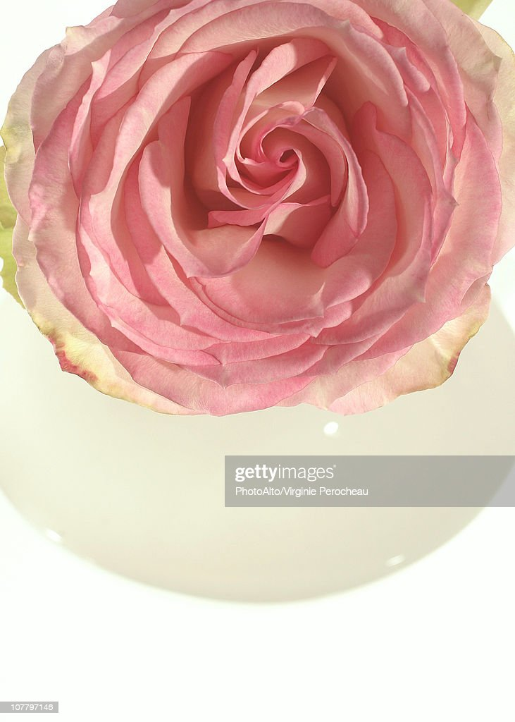 Rose, overhead view : Stock Photo