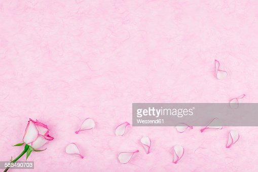 Rose pedals on pink tissue paper, copy space