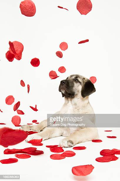 Rose Petals Falling On Puppy