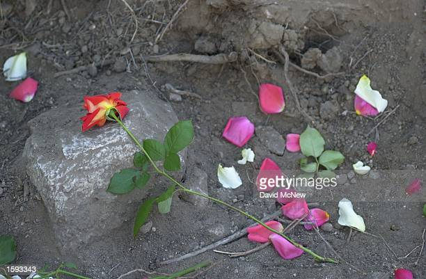 Rose petals left by relatives of Sandra Rosas slain wife of Los Lobos band leader Cesar Rosas lie in a shallow grave where human remains believed to...