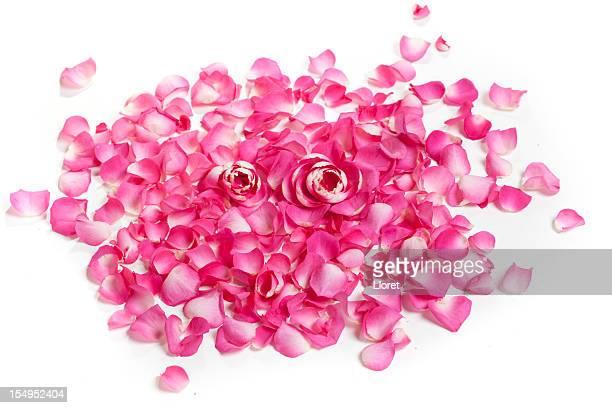 Pétales de Rose sur blanc