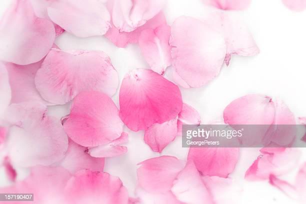 Rose Rosenblätter