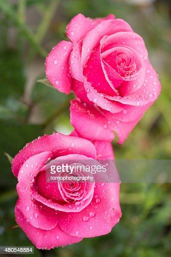 Rose : Foto de stock