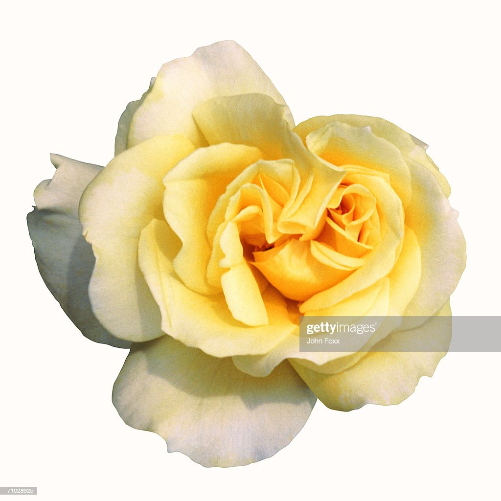 rose : Stock Photo