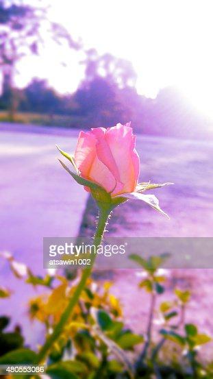 Rosa rosa no estilo suave : Foto de stock