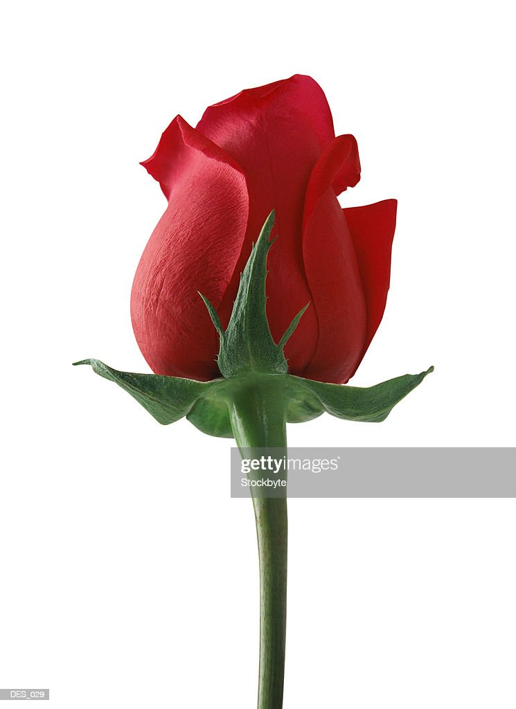 Rose, side view : Stock Photo