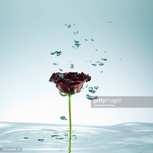 Rose, stem standing in water, droplets of water in mid-air, close-up