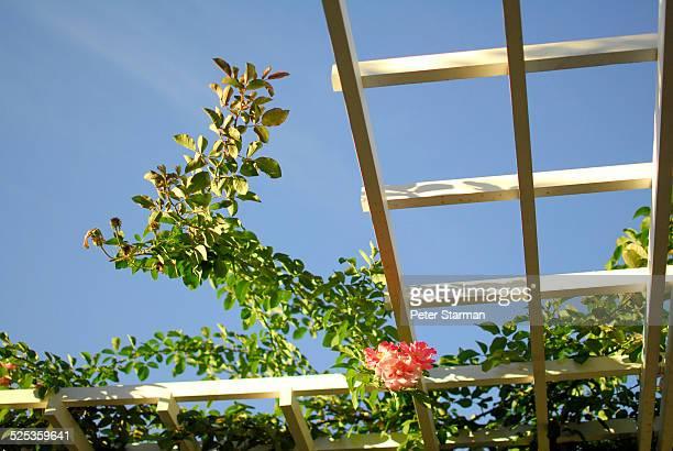 Rose vines growing along grate