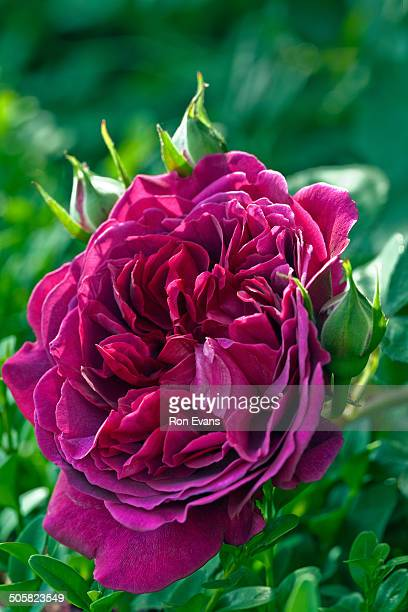Rose 'William Shakespeare 2000'