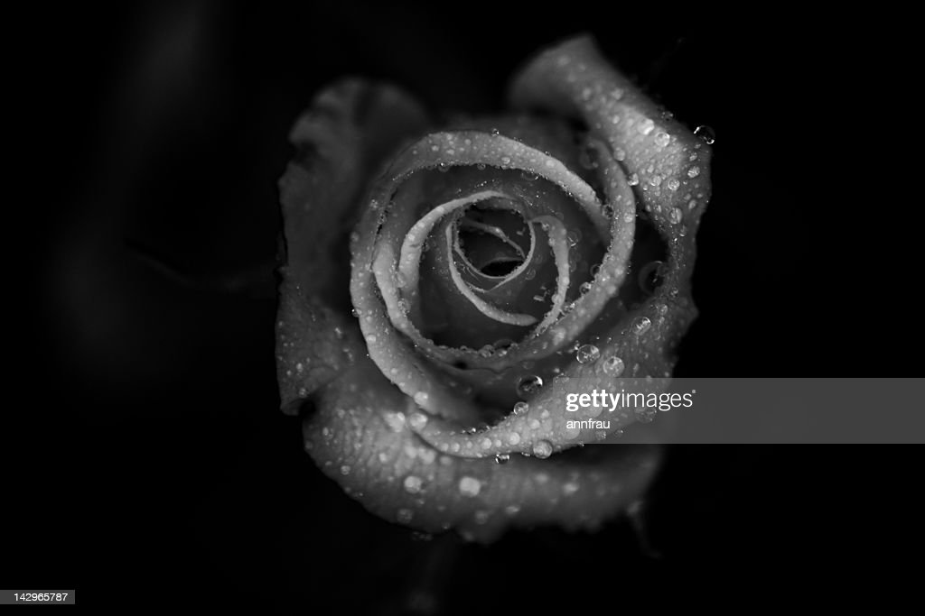 Rose with droplets : Stock Photo