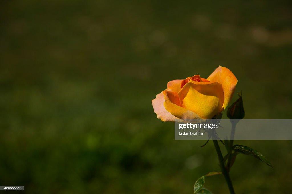 Rose Yellow : Stock Photo