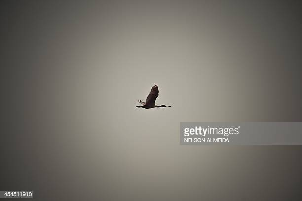 A roseate spoonbill flies over the Paraguay river in Caceres Brazil the gateway to the Pantanal on August 25 2014 Often referred to as the worlds...