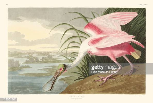 Roseate Spoonbill Plate 321 from John James Audubon's Birds of America late 1830s
