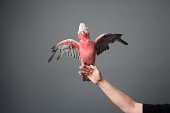 Rose-breasted Cockatoo With Outstretched Wings
