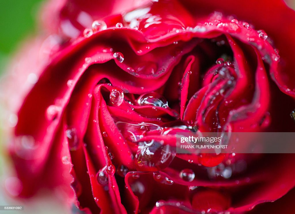 A rosebud covered in raindrops stands in a garden in Frankfurt am Main, western Germany, on May 24, 2016. / AFP / dpa / Frank Rumpenhorst / Germany OUT