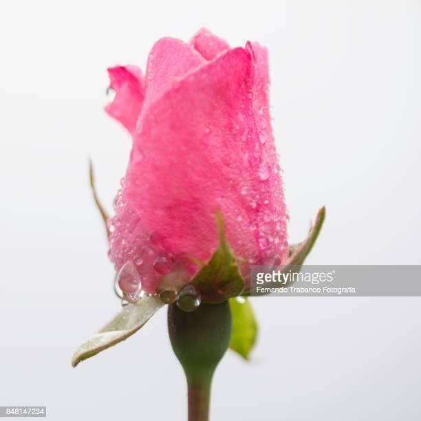 rosebud on a rainy day