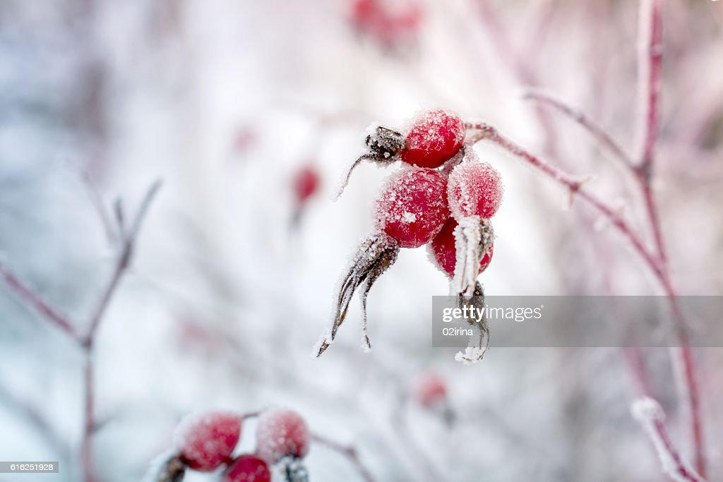 Rosehip berries covered with frost. : Stock Photo