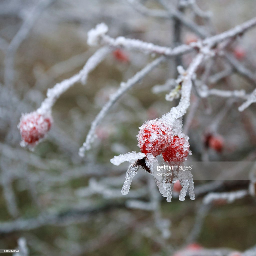 Rose-hip berries covered with frozen ice crystals : Stock Photo