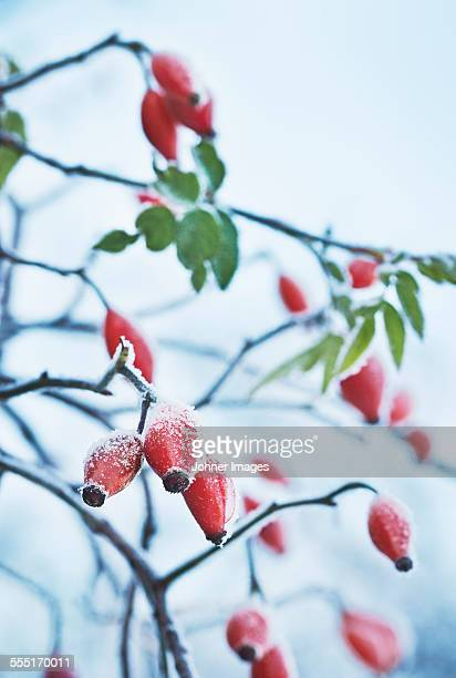 Rosehips at winter