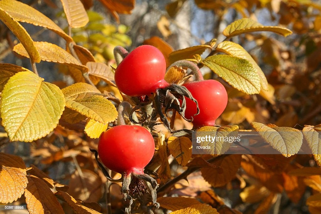 rosehips on the branches : Stock Photo