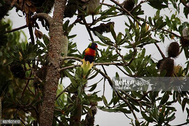 Rosella in a banksia tree after rain, Narrawallee Beach, NSW