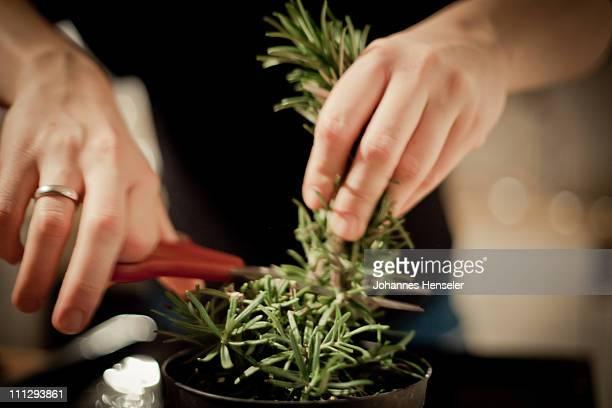 Rosemary getting cut