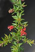 Rosemary grevillea - Latin name - Grevillea rosmarinifolia