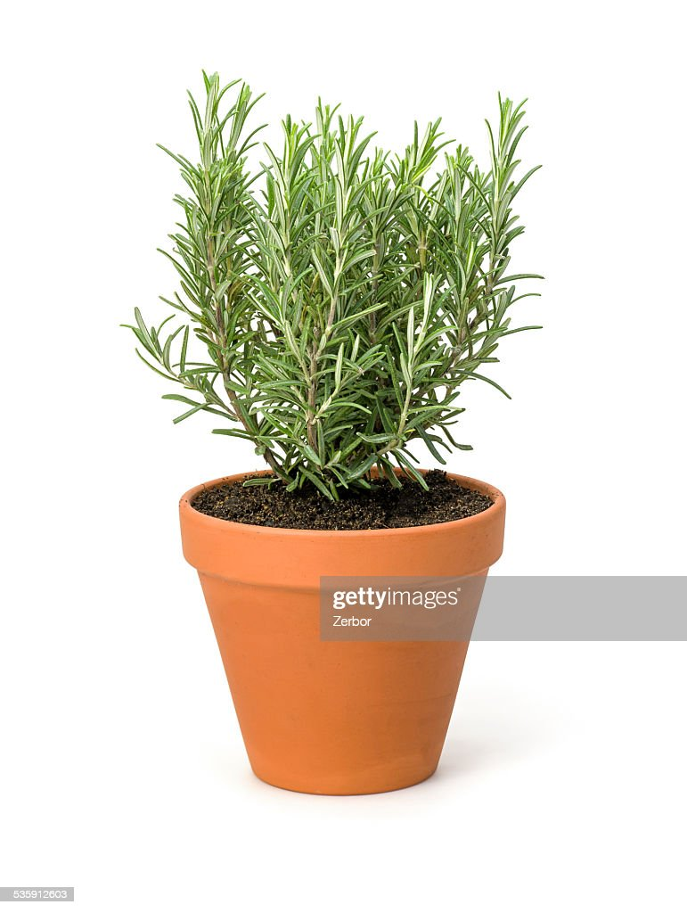 Rosemary in a clay pot : Stock Photo