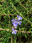 This is Rosemary photo. I took it in Tokyo,Japan.