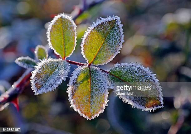 Rosenlaub der Kletterrose Rosa Sympathie im Garten bei Wintereinbruch dekorativ mit Raureif besetzt