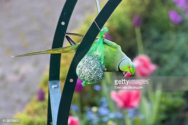 Rose-ringed parakeet eating sunflower seed on garden pergola
