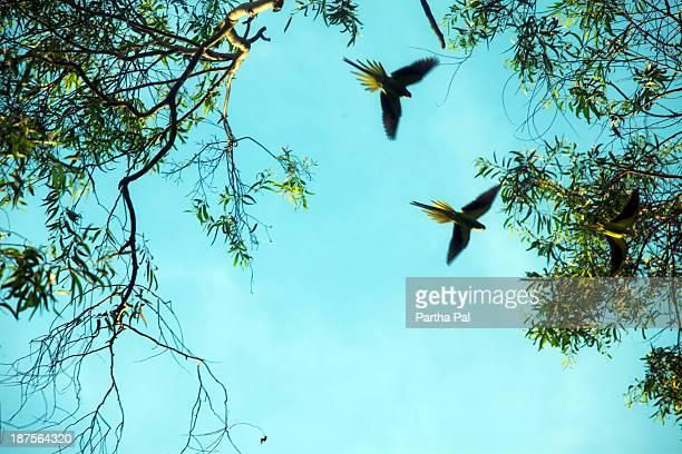 Rose-ringed Parakeet (Psittacula krameri) flying