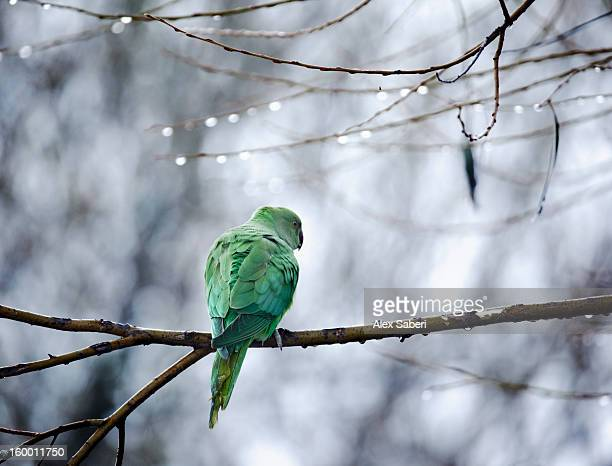 A rose-ringed parakeet, Psittacula krameri, on a branch in winter.