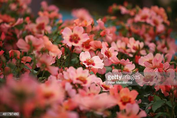Roses are displayed at the Hampton Court Flower Show on July 7 2014 in London England Hampton Court Palace Flower Show opens to the public tomorrow...