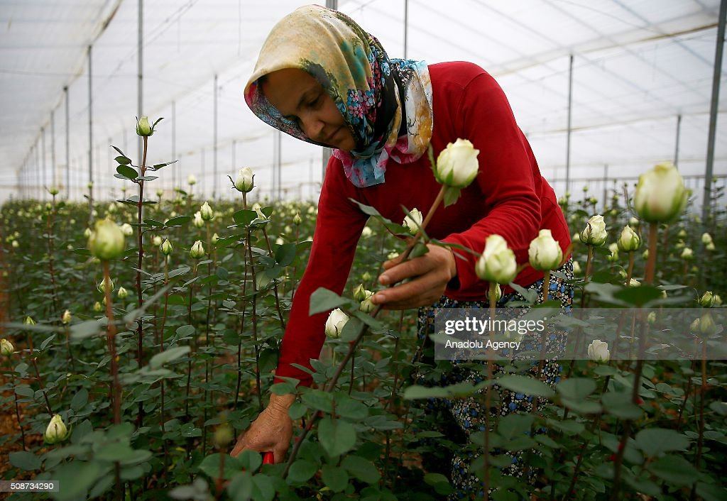 Roses are seen at a greenhouse as Turkish local rose and flower cultivators display their harvest to wholesale buyers ahead of Valentine's day in Izmir province of Turkey on February 6, 2016. Rose growth in Turkey meets approximately 60% of the whole demand of the world. Sellers expect rose sales to increase one million on upcoming Valentine's days.