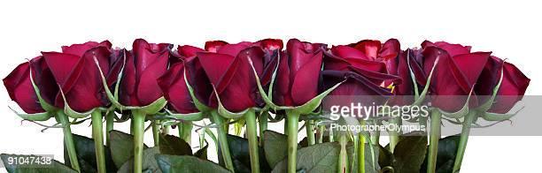 Roses border on white