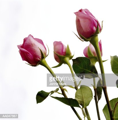 Roses (Rosa sp.), close-up : Stock Photo