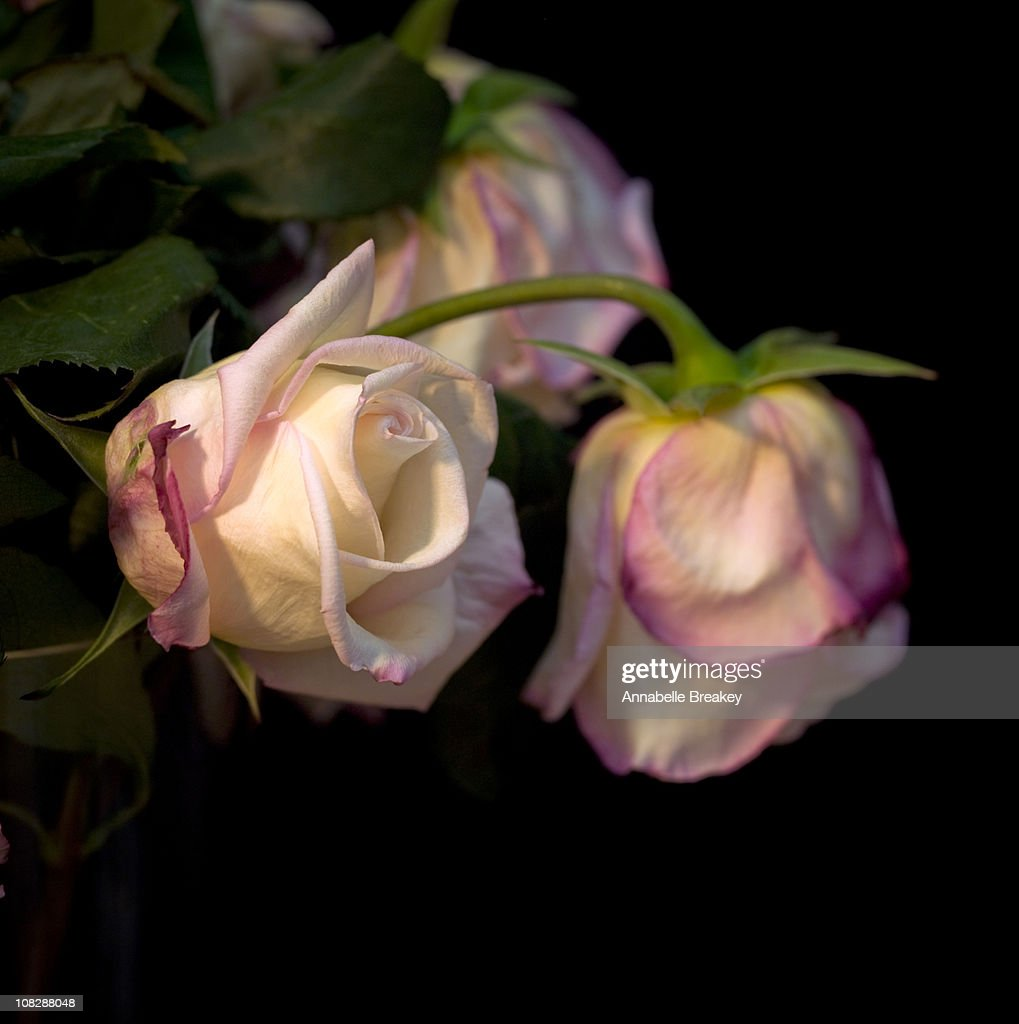 Roses fresh and past : Stock Photo