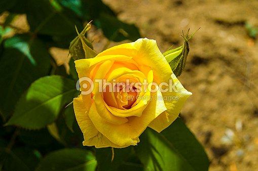 rosen liebe symbol rosen gelbe rosen f r liebhaber tag nat rliche rosen im garten stock foto. Black Bedroom Furniture Sets. Home Design Ideas